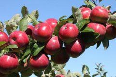 رونق بازار سیب و کوتاه کردن دست دلالان؛ خواسته کشاورزان از دولت سیزدهم