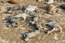 تلف شدن بیش از ۱۶۰ راس احشام در سلماس در اثر سیل و صاعقه